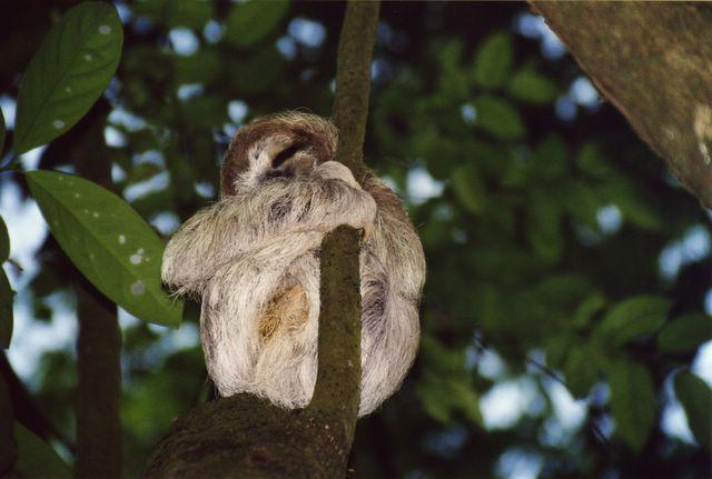 Bradipo del Costa Rica