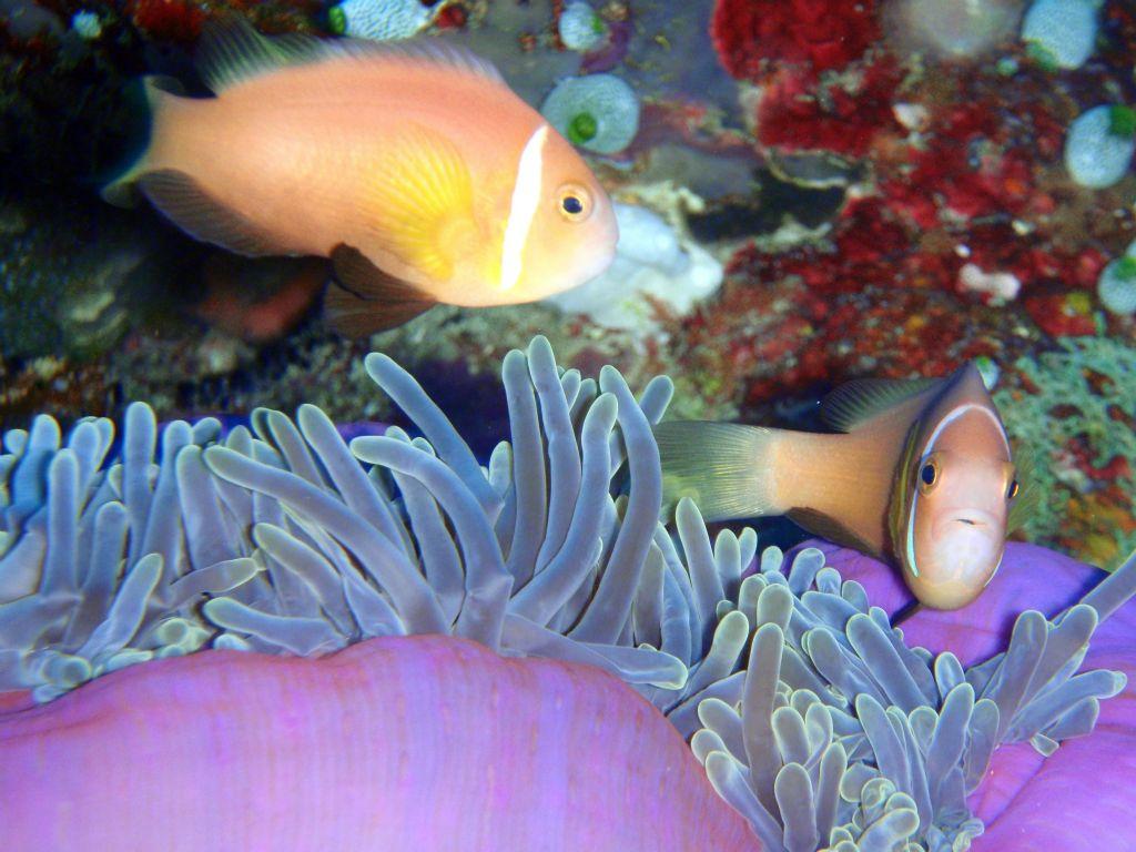 Pesci pagliaccio con anemone