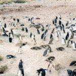 Pinguini a Cabos dos Bahias